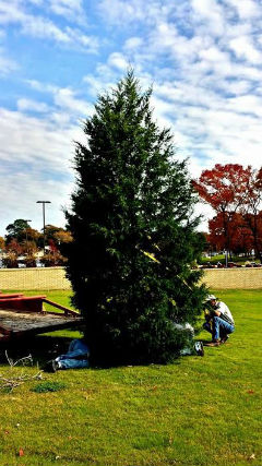 Staff members at Trinity Valley Community College place the freshly-cut tree in McDonald Plaza on campus in preparation for Monday's fifth-annual Christmas Tree Lighting Ceremony. (Richard Hawkins photo)